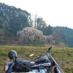 岡崎市 奥山田のしだれ桜 バイクで見に行ってきた(動画もあります)