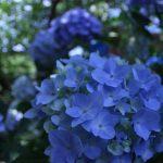 蒲郡市あじさいの里で、紫陽花の撮影(動画編)