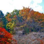 こんな季節に桜 紅葉と見事なコラボ